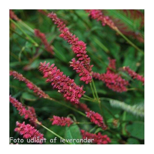 Persicaria amplexicaulis 'Dark Red'. Kertepileurt