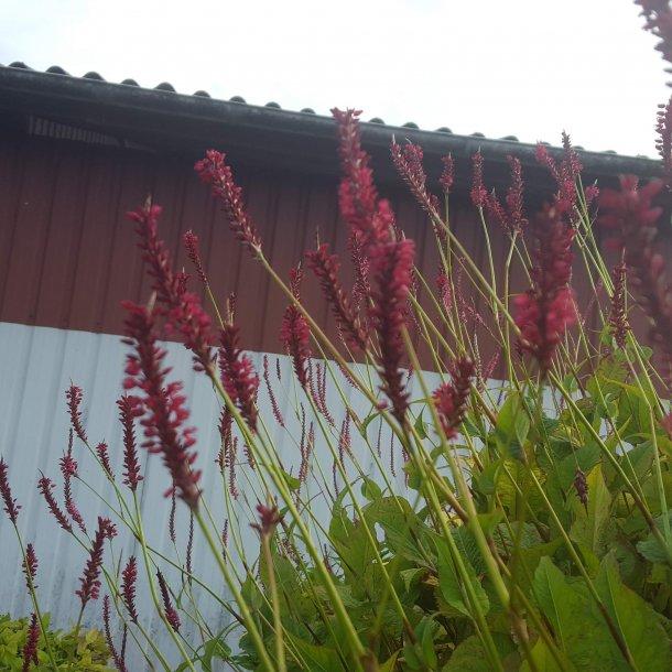 Persicaria amplexicaulis 'Speciosa'. <br/>Kertepileurt