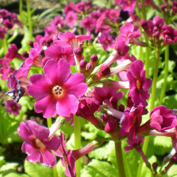 Primula japonica 'Miller's Crimson'. <br/>Etageprimula