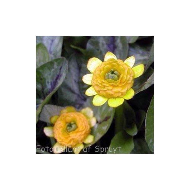 Ranunculus ficaria 'Collarette'.<br/>Vorterod