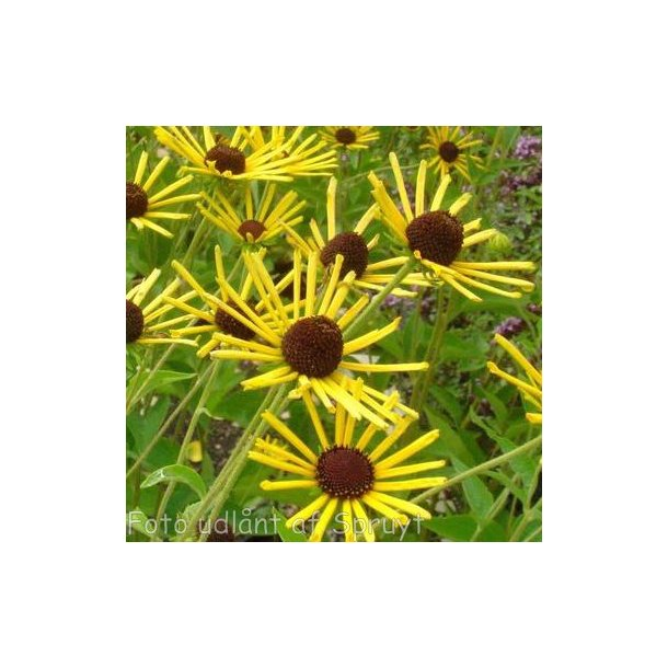 Rudbeckia submentosa 'Henry Eilers'.<br/>Solhat