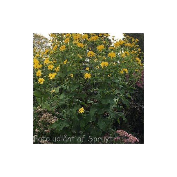 Silphium perfoliatum. <br/>Skålplante