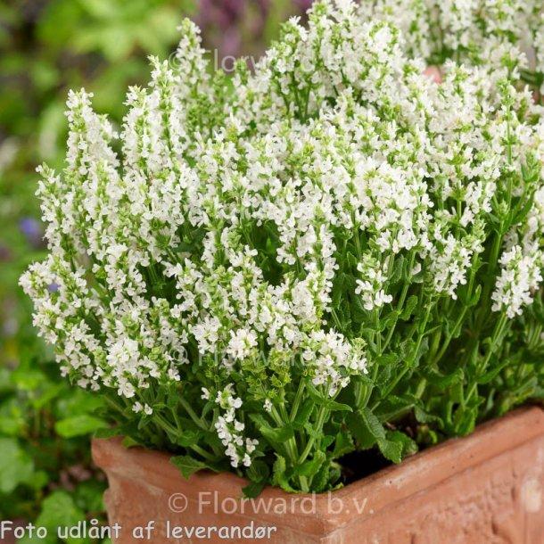 Salvia nemorosa 'Sensation White'. <br/>Staudesalvie