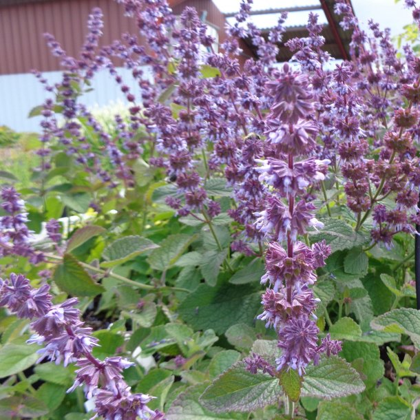 Salvia verticillata 'Hannay's Blue'. <br/>Kranssalvie