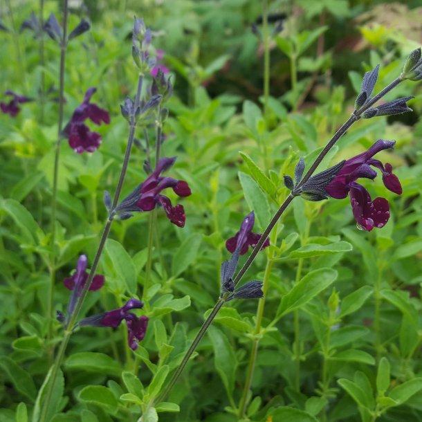 Salvia jamensis 'Nachtvlinder'. <br/>Salvie