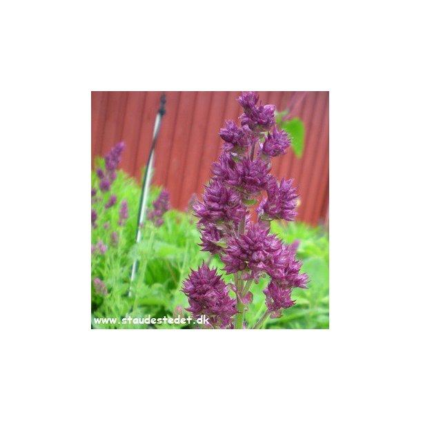 Salvia nemorosa 'Schwellenburg'. Staudesalvie