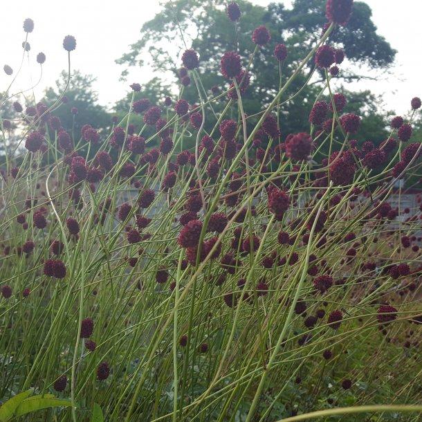 Sanguisorba officinalis 'Mornings Select'. <br/>Kvæsurt