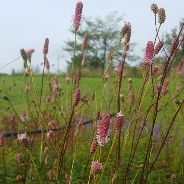 Sanguisorba officinalis 'Pink Tanna'. <br/>Kvæsurt