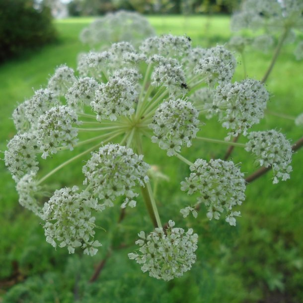Selinum tenuifolium. <br/>Walisisk seline