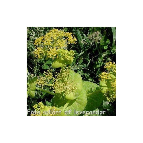 Smyrnium perfoliatum. <br/>Lundgylden
