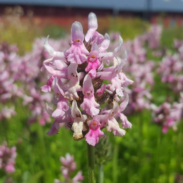 Stachys officinalis 'Pink Cotton Candy'. Lægebetonie