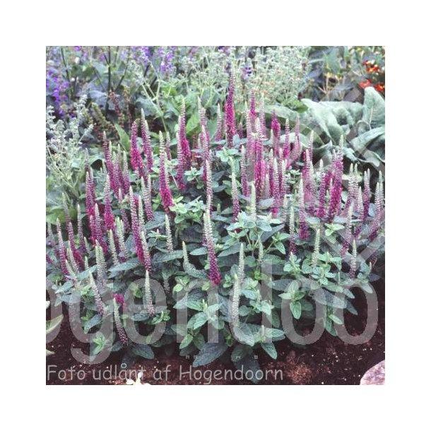 Teucrium hyranicum 'Paradise Delight'.<br/>Kortlæbe