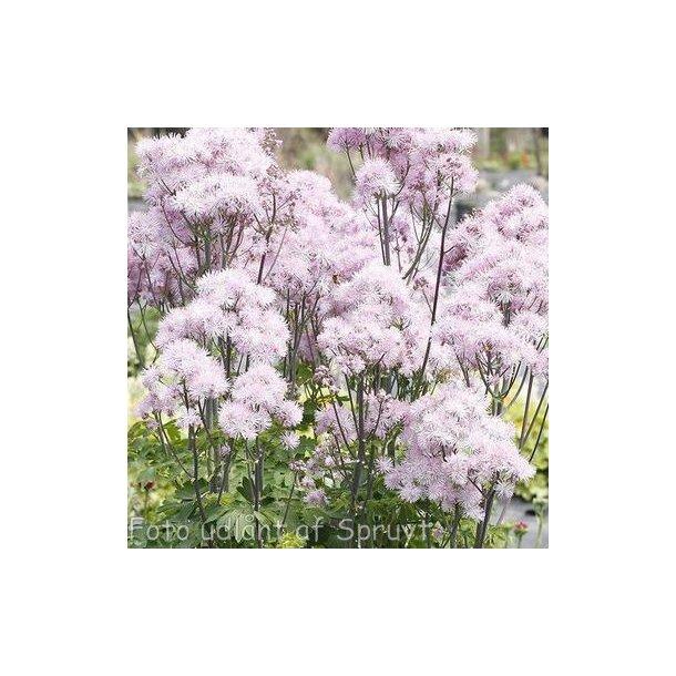 Thalictrum aquilegifolium 'Nimbus Pink'.  <br/>Akelejefrøstjerne