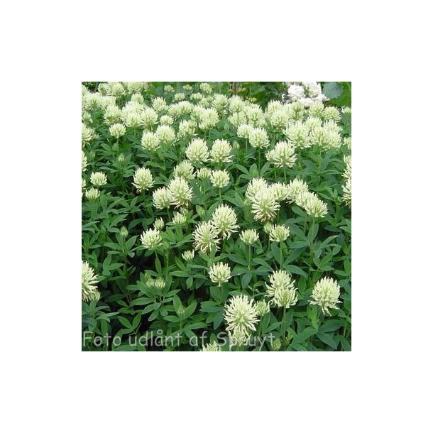 Trifolium pannoricum 'White Tiara'.  <br/>Kløver