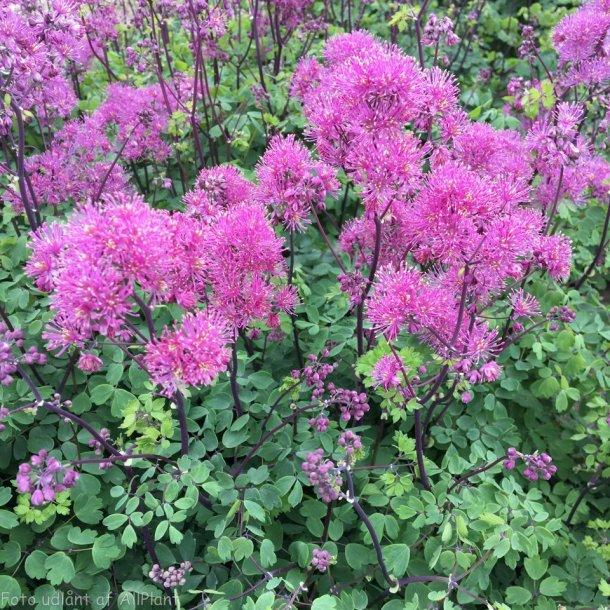 Thalictrum aquilegifolium 'Little Pinkie'.  <br/>Akelejefrøstjerne
