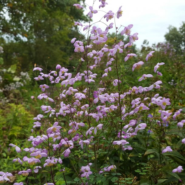 Thalictrum delavayi 'Splendide'.  <br/>Violfrøstjerne