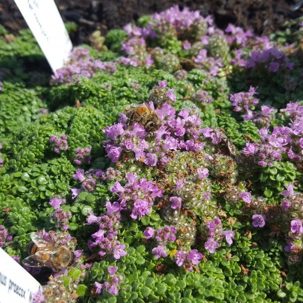 Thymus praecox 'Minor'.  <br/>Timian