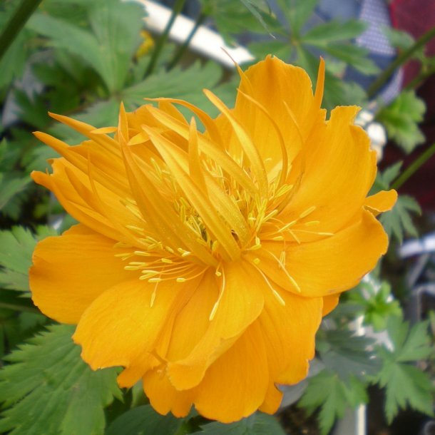Trollius chinensis 'Golden Queen'.  <br/>Engblomme