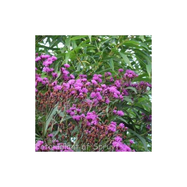 Vernonia crinita. <br/>Vernonia
