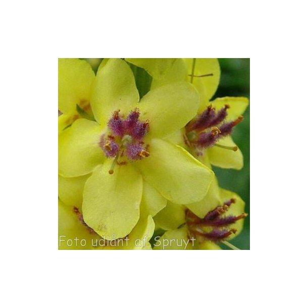 Verbascum nigrum. <br/>Kongelys
