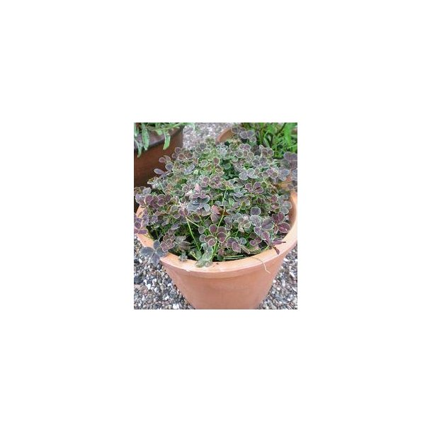Trifolium repens 'Pentaphyllum'. <br/>Kløver